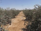 """كيف يحافظ المزارعون على زيادة إنتاج """"الرمان والتين والقشطة"""" × 12 معلومة؟"""