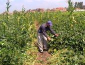 """متابعة ميدانية مكثفة من """"زراعة دكرنس"""" لمحاصيل الأرز والقطن وفول الصويا"""