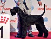 بالصور.. شاهد أجمل كلاب العالم فى مسابقة أجمل كلب ببلجيكا