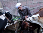 لهذا السبب.. وزارة الزراعة تحصن 4000 رأس ماشية بسوهاج