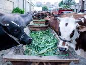 """ننشر خطة """"الزراعة"""" حول التلقيح الصناعى للماشية وفوائده×16معلومة"""