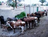 تحصين 42 مليون رأس ماشية وطائر ضد 4 أمراض وبائية تهدد الثروة الحيوانية