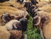 الزراعة تعلن موافقة الإمارات رسميا على استيراد الأغنام والماعز من مصر