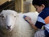 لحمايتهم من حساسية الصوف.. ابعد أطفالك عن خروف العيد