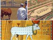 """""""البقرة المباركة"""" فى الحضارة والدين.. """"ذبيحة"""" الأديان الإبراهيمية.. ورمز """"الهيكل"""" لليهود.. وإشارة """"صلب المسيح"""".. وأكبر سور القرآن الكريم.. مقدسة عند الهندوس.. وإلهة الحب للقدماء المصريين"""