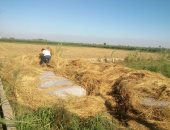 علماء صينيون يكتشفون جينا يساعد الأرز على التكيف مع الطقس البارد