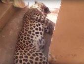إغلاق مزرعة حيوانات نمر العياط ووضعها تحت الحراسة المشددة