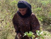 """بالفيديو.. مزارعات الشرقية يطلقن الزغاريد لحظة جنى القطن بحضور """"القومى للمرأة"""""""