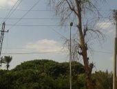 بالصور.. شجرة كبيرة مهددة بالسقوط على أسلاك الكهرباء بطريق القناطر الخيرية