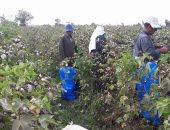 زراعة المنوفية تجنى 658 فدان قطن
