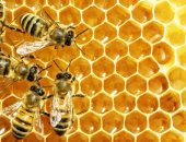 بيعالج الربو والحساسية.. اعرف الفوائد الصحية للقاح النحل