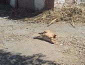 بالصور.. قتل 550 كلبا ضالا و180 قطة بشوارع ومستشفيات كفر الشيخ