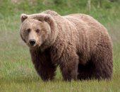 رومانيا توقف صيد الدببة البنية والذئاب والقطط البرية