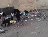 """بالصور.. """"الماعز والأغنام"""" تحتل مدرسة شنوان فى المنوفية بعد هدم الأسوار"""