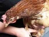 لأول مرة فى العالم.. إنتاج لحم الدجاج والبط فى المختبر