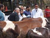"""""""الزراعة"""": قوافل بيطرية بالمجان تجوب القرى لإجراء التلقيح الصناعى للماشية"""