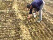 """""""الزراعة"""" توفر تقاوى القمح وتنهى 45% من زراعات البنجر المستهدفة بمشروع المنيا"""