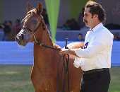 بالصور.. انطلاق مهرجان الخيول بمشاركة 340 حصانا عربيا فى الزهراء
