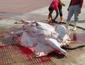 ذبح 5 رؤوس ماشية للأسر الأكثر احتياجًا بقرى المنيا