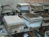 النحالون بدمياط يطالبون بتوفير حصة سكر إنقاذا لسلالات النحل
