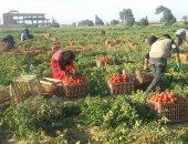نائب وزير الزراعة يتفقد صادرات الطماطم المجففة بالأقصر