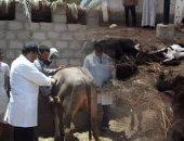 الزراعة : استمرار  الحملة القومية لتحصين الماشية ضد الحمى القلاعية