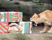 بالصور... توزيع هدايا على الحيوانات المفترسة فى ألمانيا احتفالا بالكريسماس
