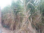 """تعرف على إجراءات """"الزراعة"""" لزيادة إنتاج قصب السكر × 9 معلومات"""