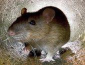 الإندبندنت: آلاف الصراصير والفئران فى مستشفيات بريطانيا الحكومية