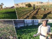 وزارة الزراعة: إجمالى المساحات المنزرعة بالفول البلدى 122 ألفًا و210 فدانًا