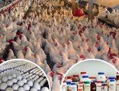 رئيس شركة اللحوم والدواجن: الاحتياطى يكفى 6 أشهر ونتفاوض لتثبيت سعر البيض