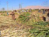 بالصور.. بدء موسم حصاد القصب ونقله لمصنع سكر أرمنت بالأقصر