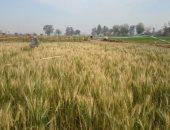 الوادى الجديد تستعد لموسم حصاد القمح