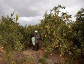 الزراعة: ارتفاع صادرات الموالح 1.7 مليون طن.. وإجراءات مشددة للشحنات