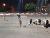 انتشار الكلاب الضالة بشوارع الهانوفيل بالعجمى ومطالب بنقلها بعيدا عن السكان