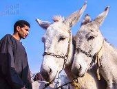 سوق الحمير فى الجيزة.. الحصاوى غلب التوك توك والرهوان