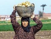 """""""الحجر الزراعى"""": ارتفاع صادرات البطاطس لأوروبا والخليج لـ269 ألف طن"""