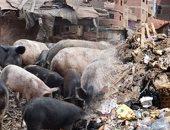 هل تحل الخنازير أزمة القمامة؟.. جامعو المخلفات يعيدون توطينها.. ويؤكدون: التخلص منها فى 2009 تسبب فى كارثة.. نقيب الزبالين: 2.5 مليون خنزير تلتهم 6 آلاف طن قمامة يوميا.. و4 وزارات تحسم أمر عودتها