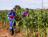 الزراعة: لم نتلق بلاغات بظهور دودة الحشد بخلاف البؤر المحدودة