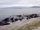 نفوق عشرات الحيتان والمياه تجرفها إلى شواطئ نيوزيلندا
