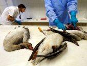 إسرائيل تبلغ عن بؤرة تفش لإنفلونزا الطيور بمزرعة ديوك رومى