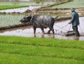 """علماء الدين: شراء التجار لمحصول الأرز قبل زراعته """"حرام شرعا"""""""