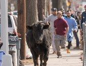بالفيديو والصور.. ثور هائج يسبب الذعر فى شوارع مدينة نيويورك الأمريكية