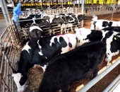 """وكيل """"زراعة الغربية"""": ترخيص 510 مزارع ماشية و175 مزرعة دواجن"""