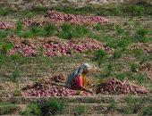 الزراعة: لجان بغيطان 18 صنف خضروات لزيادة المعروض والتصدير