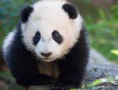"""عودة باندا """"باو باو"""" من أمريكا إلى الصين تحظى باهتمام الصينيين"""
