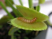 النباتات تأكل الحشرات عندما تفتقر التربة التى تعيش فيها للغذاء