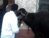 تحصين 720 رأس ماشية ضد الحمى القلاعية فى مدينة ميت أبو غالب بدمياط