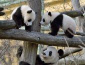 أول مولود للباندا الصينية فى حديقة حيوان بوفال الفرنسية