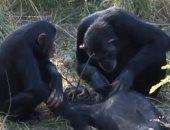 """الإندبندنت تنشر فيديو لـ""""شمبانزى"""" تنظف أسنان ابنها بعد موته"""